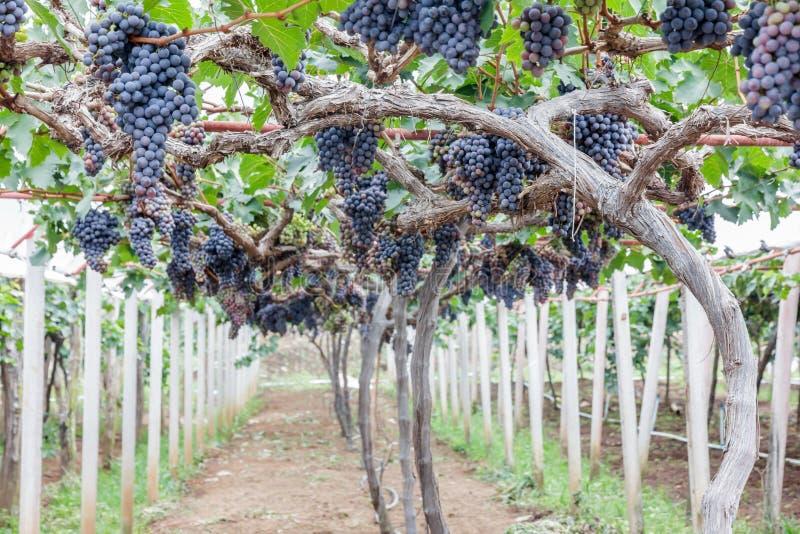 Fruta de la uva en árbol fotos de archivo