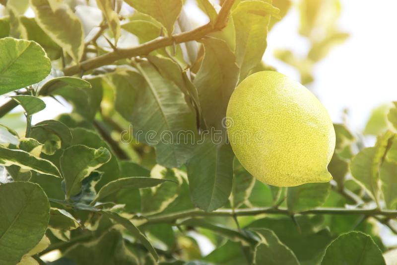 Fruta de limón orgánico fresco y variado en su árbol fotos de archivo libres de regalías