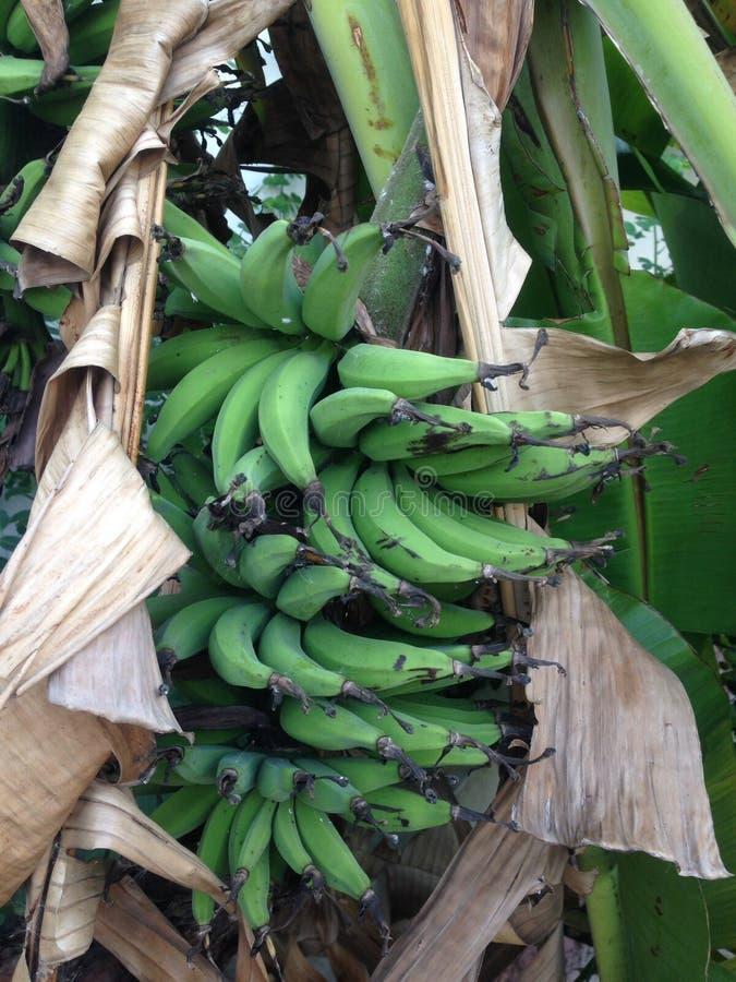 Fruta de maduración en árbol de plátano foto de archivo libre de regalías