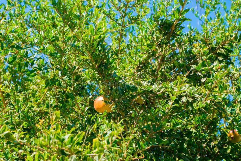 Fruta de maduración de la granada en árbol imagen de archivo