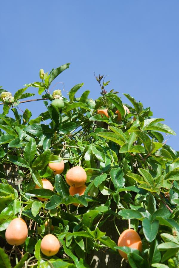 Fruta de pasión Bush foto de archivo