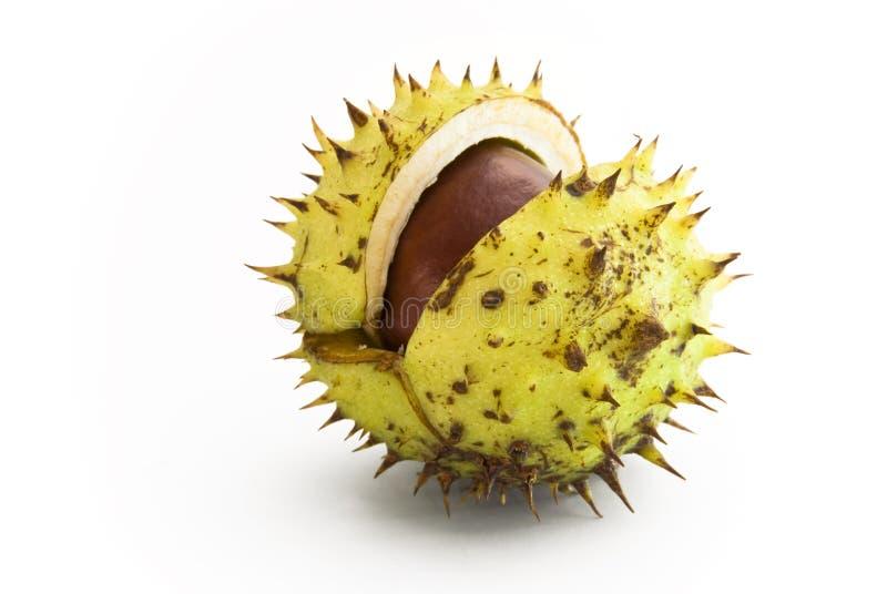 Fruta de punta de la castaña imagen de archivo libre de regalías