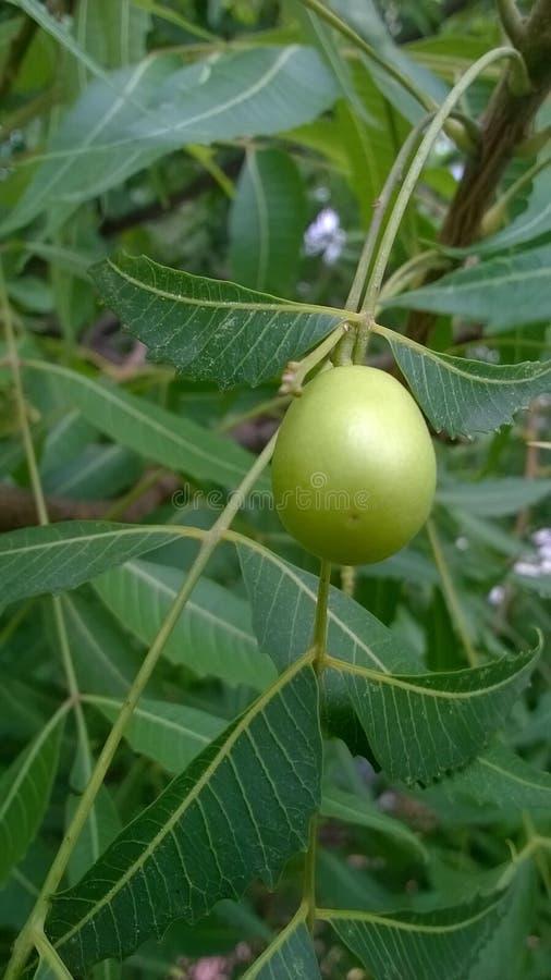 Fruta de un árbol de Neem fotos de archivo