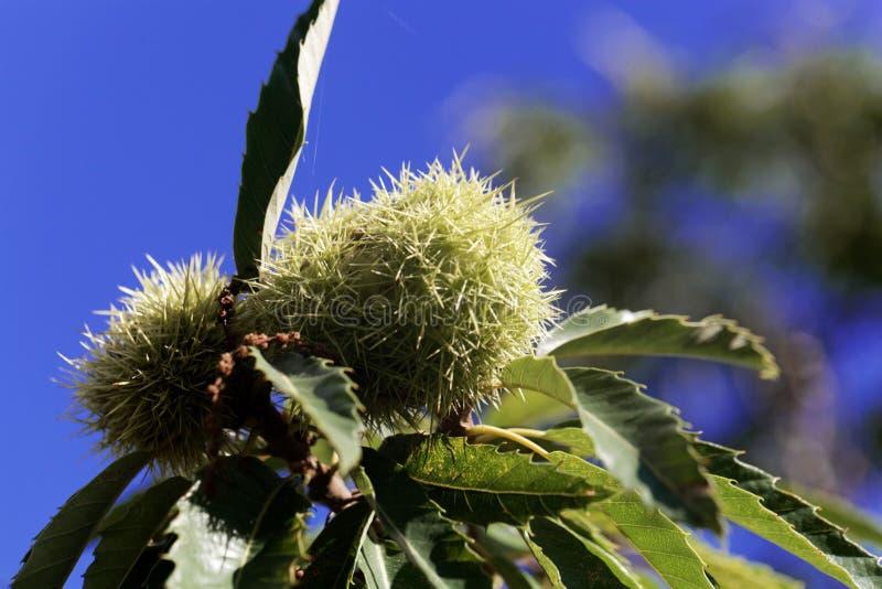 Fruta de un Castanea de la castaña dulce sativa fotografía de archivo