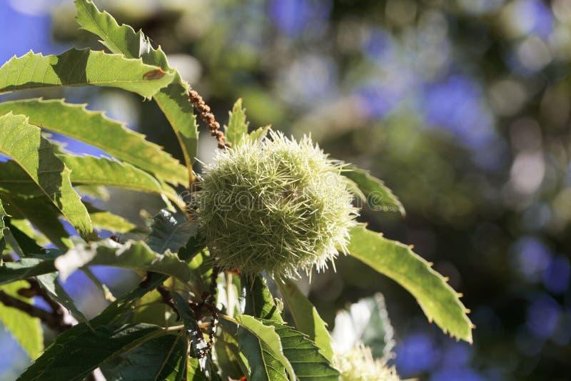 Fruta de un Castanea de la castaña dulce sativa fotos de archivo