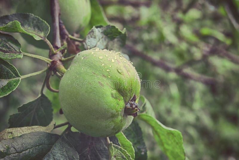 Fruta de una manzana verde joven que crece en una rama en un primer del jardín de la primavera imagenes de archivo