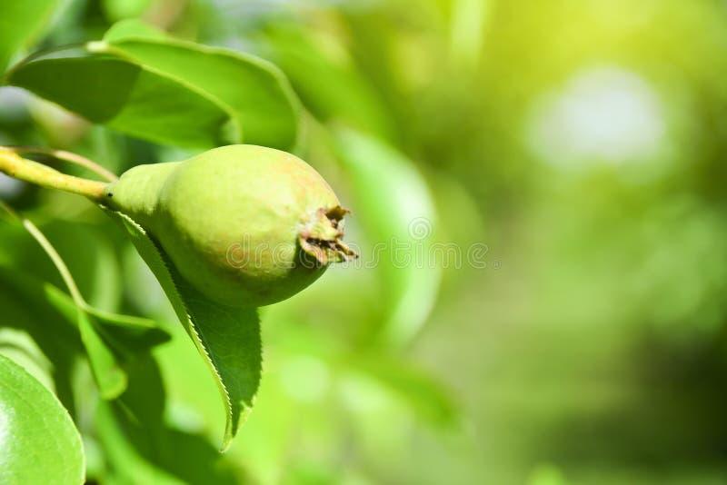 Fruta de una pera joven en un árbol Primer de una pera inmadura que crece en una rama de árboles de hojas caducas Primer fotos de archivo
