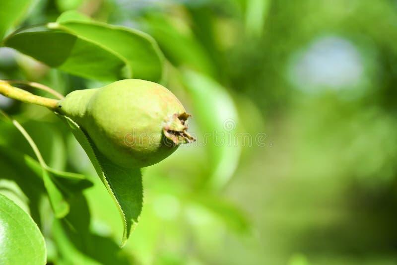 Fruta de una pera joven en un árbol Primer de una pera inmadura que crece en una rama de árboles de hojas caducas Primer foto de archivo