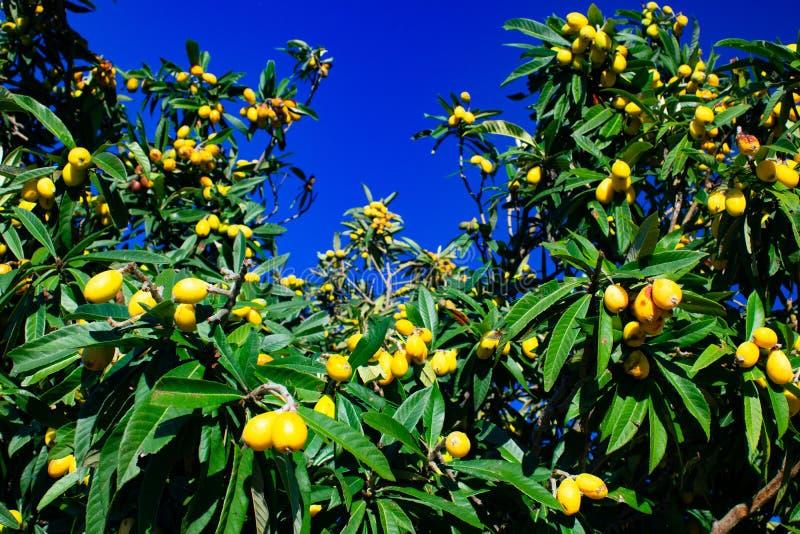 Fruta del Loquat de España-Valencia imagenes de archivo