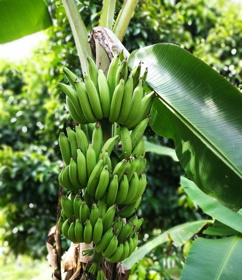 Fruta del plátano foto de archivo libre de regalías