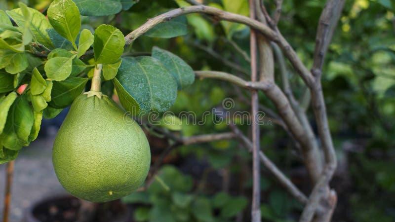 Fruta del pomelo fotografía de archivo libre de regalías