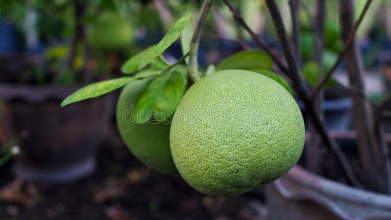 Fruta del pomelo imágenes de archivo libres de regalías