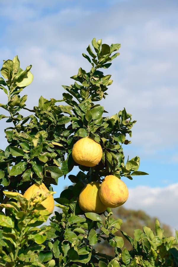 Fruta del pomelo en el árbol foto de archivo libre de regalías