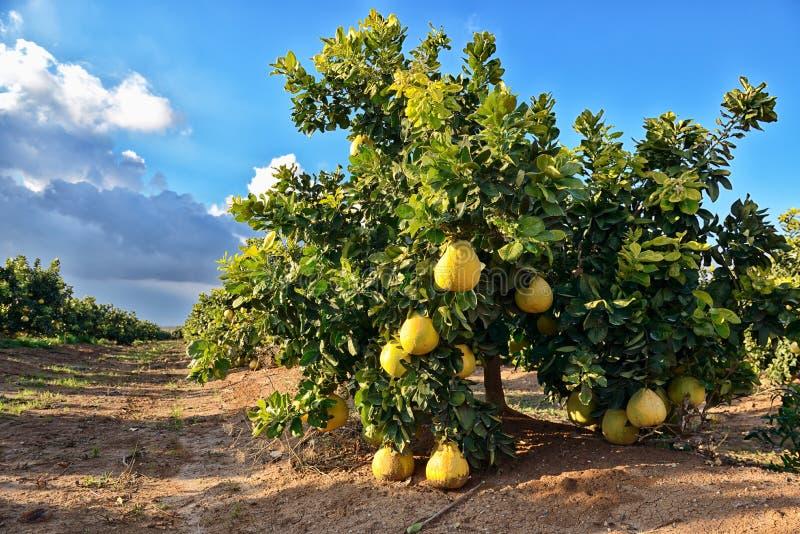 Fruta del pomelo en el árbol imagenes de archivo