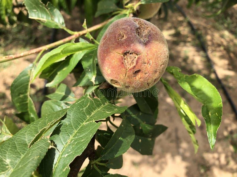 Fruta destruida por el saludo imagen de archivo