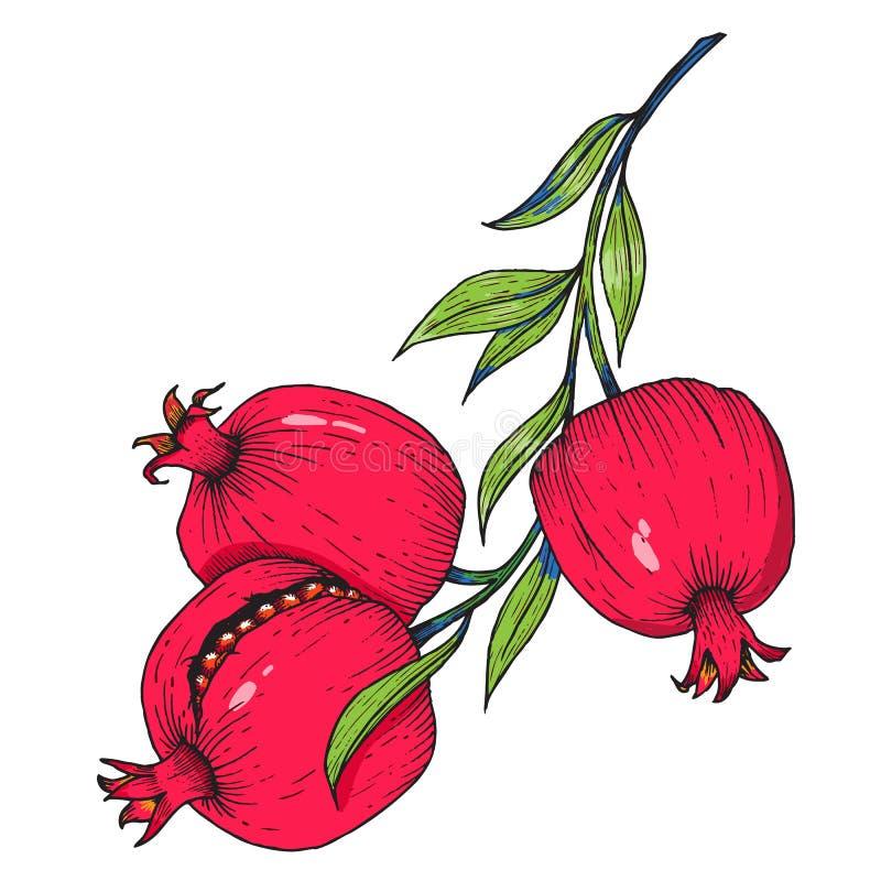 Fruta dibujada mano de la granada ilustración del vector