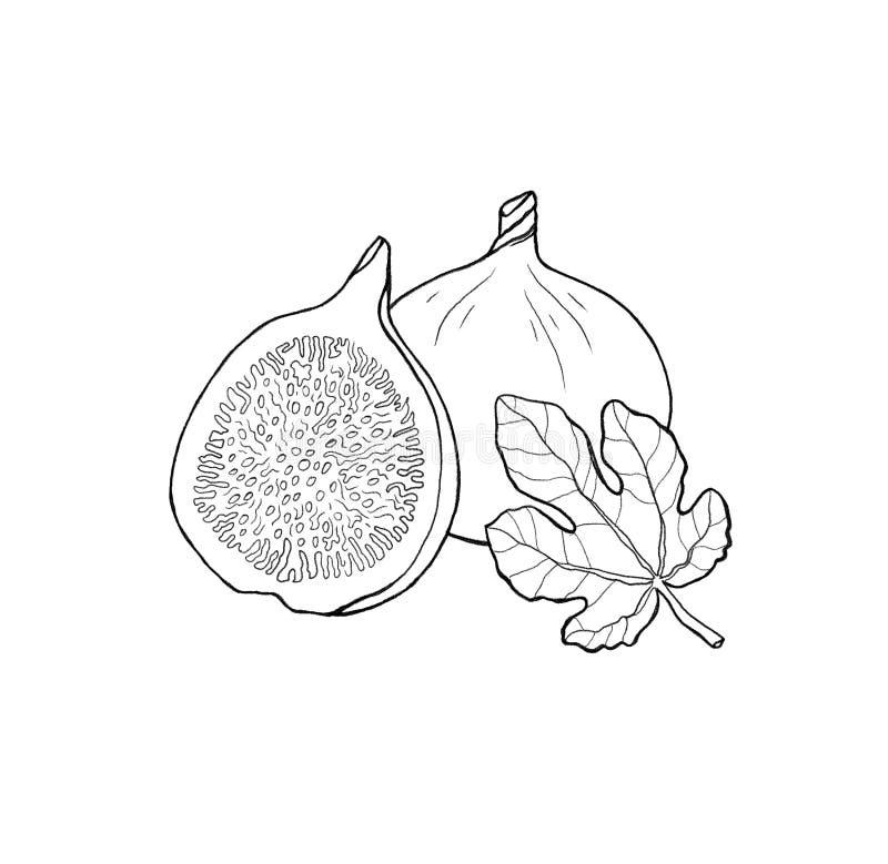 Fruta dibujada mano del higo con la hoja Esquema, fondo blanco stock de ilustración