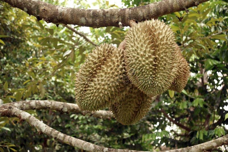 Fruta do Durian foto de stock