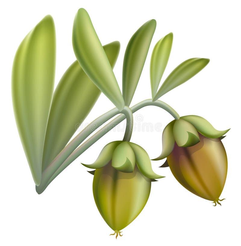Fruta do Jojoba. ilustração royalty free