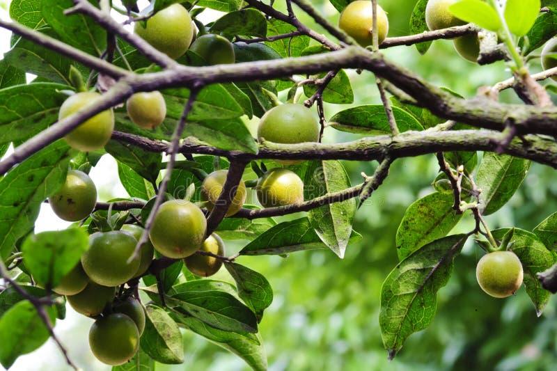 Fruta do Kumquat fotos de stock