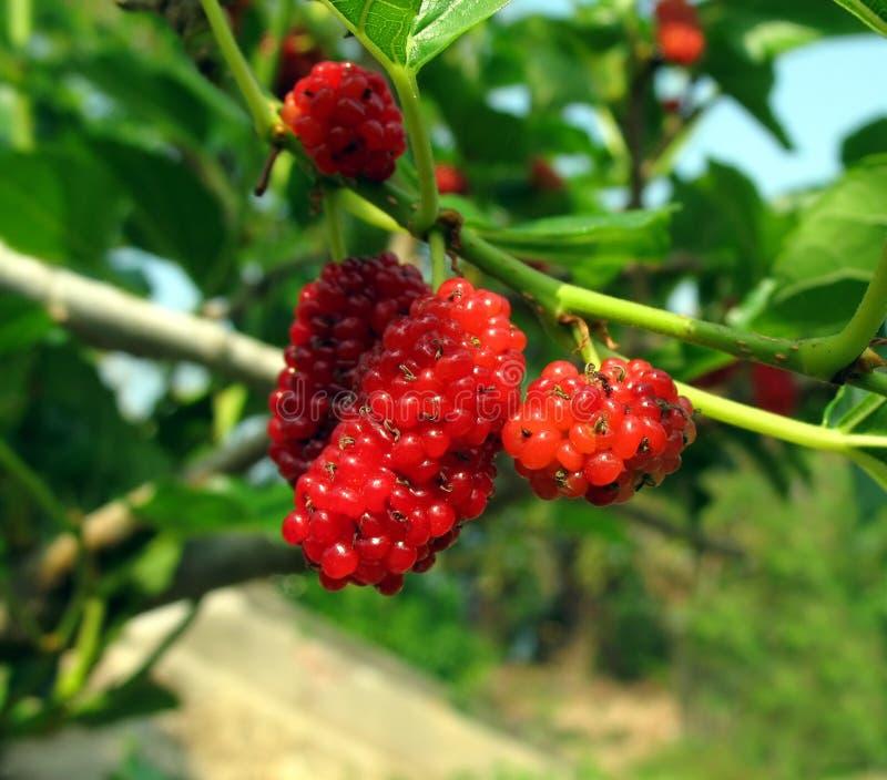 Fruta do Mulberry branco fotografia de stock royalty free