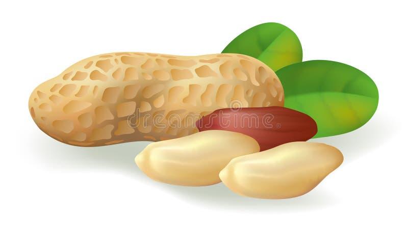 Fruta e folhas do amendoim. ilustração stock