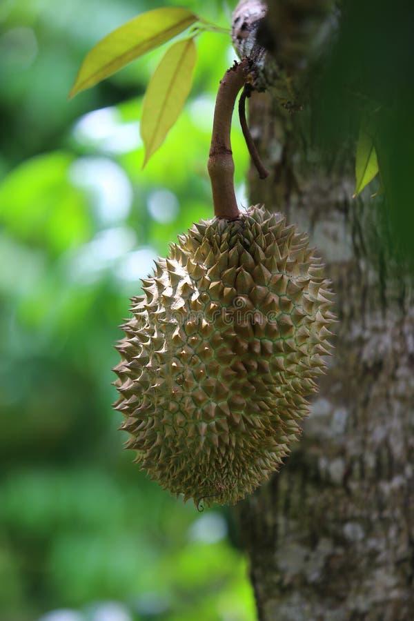 Fruta en el árbol, fruta tailandesa, Tailandia del Durian fotografía de archivo