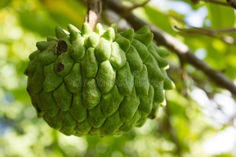Fruta exótica del deliciosa de Rollinia foto de archivo
