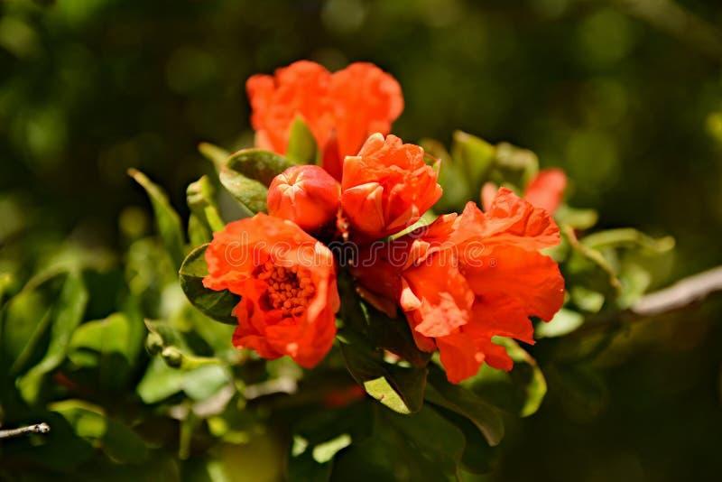 Fruta/flor de la granada en rama imagen de archivo