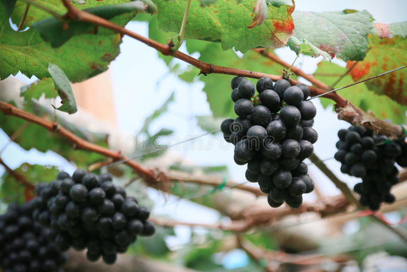 Download Fruta Fresca De La Baya O De La Uva En Huerta, Fruta Limpia O Fondo Popular De La Fruta, Fruta Del Mercado De La Huerta De La Agr Foto de archivo - Imagen de negro, otoño: 64200330