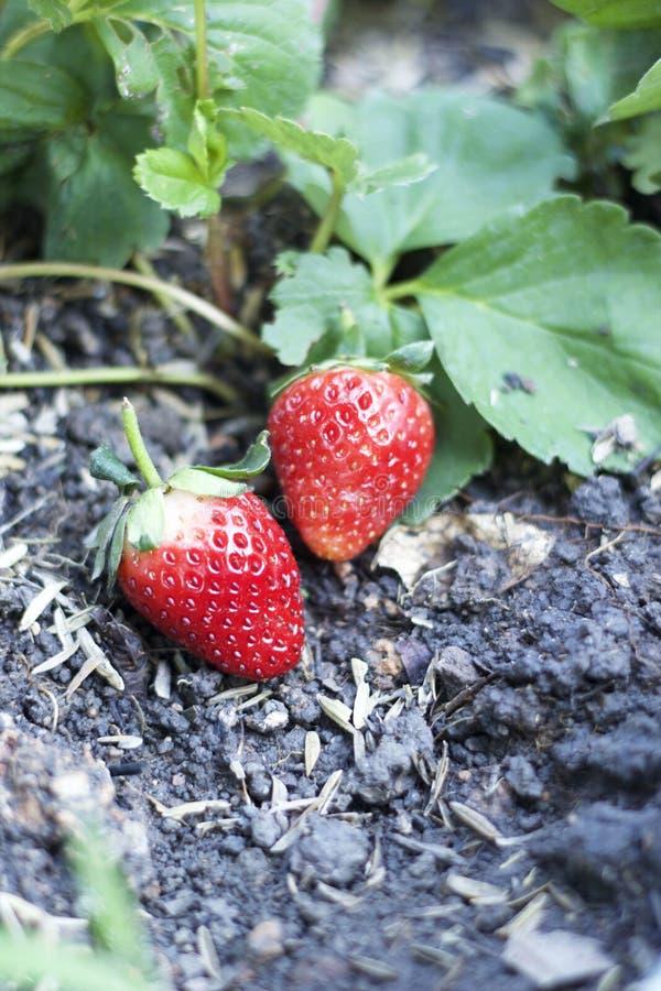 Fruta fresca de la fresa con las hojas verdes foto de archivo libre de regalías