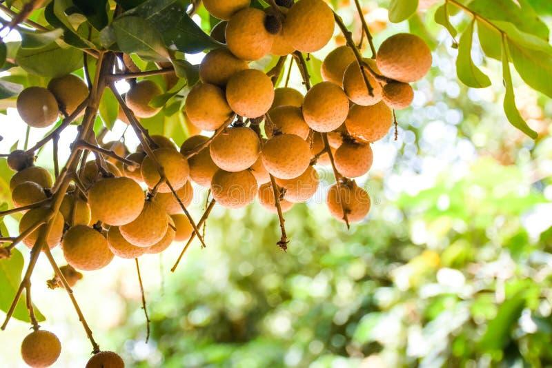 Fruta fresca del longan que cuelga en rama de árbol del longan imagenes de archivo