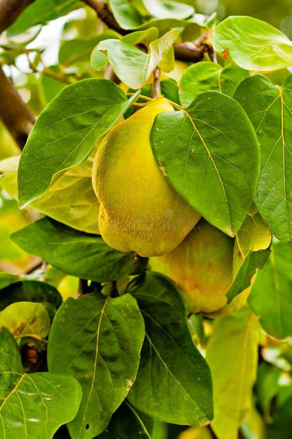 Fruta fresca na árvore fotografia de stock