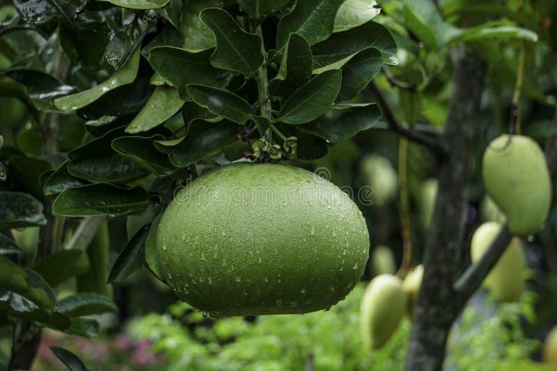 Fruta grande del pomelo del tamaño que cuelga en el árbol con descensos del agua foto de archivo libre de regalías