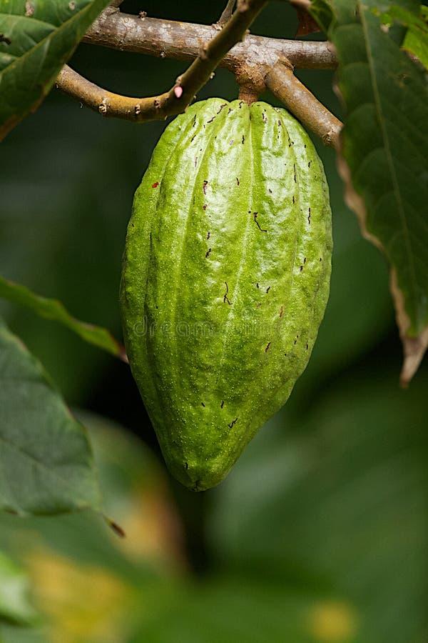 Fruta inmadura del cacao fotos de archivo libres de regalías