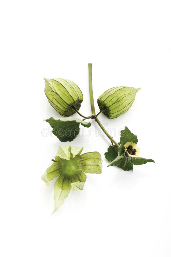 Fruta inmadura del Physalis (peruviana del Physalis) imagen de archivo libre de regalías