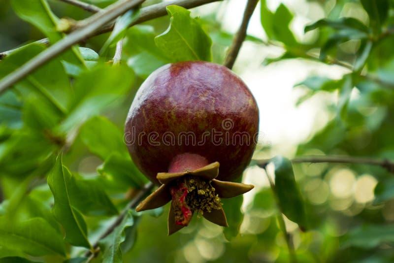 Fruta madura de la granada en la rama de ?rbol, frutas maduras de la granada que cuelgan en un fondo verde de las ramas de ?rbol fotos de archivo libres de regalías