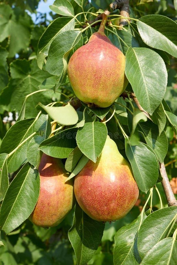 Fruta madura de la pera en una ramificaci?n de ?rbol imagenes de archivo