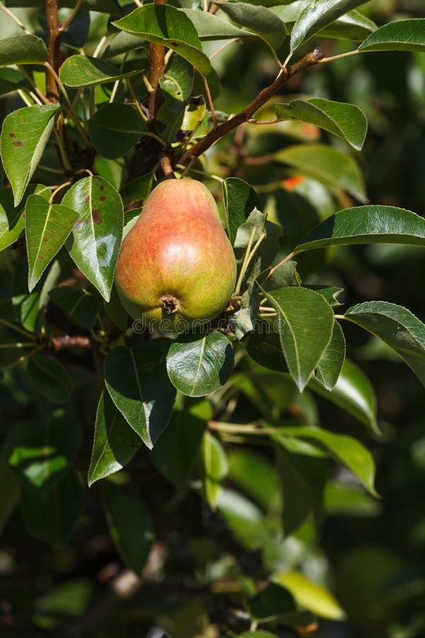 Fruta madura de la pera imagen de archivo libre de regalías