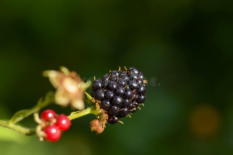 Fruta madura de la zarzamora, Alemania fotos de archivo libres de regalías