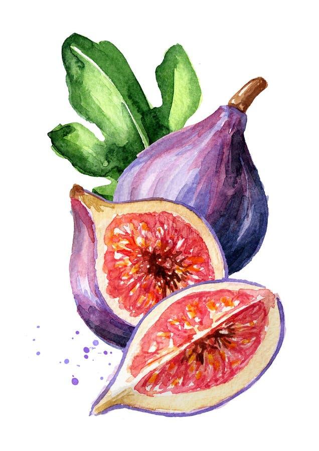 Fruta púrpura madura fresca del higo con la hoja Ejemplo dibujado mano de la acuarela, aislado en el fondo blanco fotos de archivo libres de regalías
