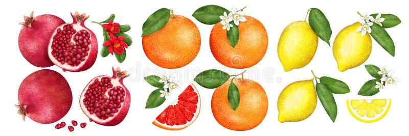 Fruta, pomelo y limón con mitades y flores del granate en el fondo blanco Sistema de la fruta cítrica Ilustración pintada stock de ilustración