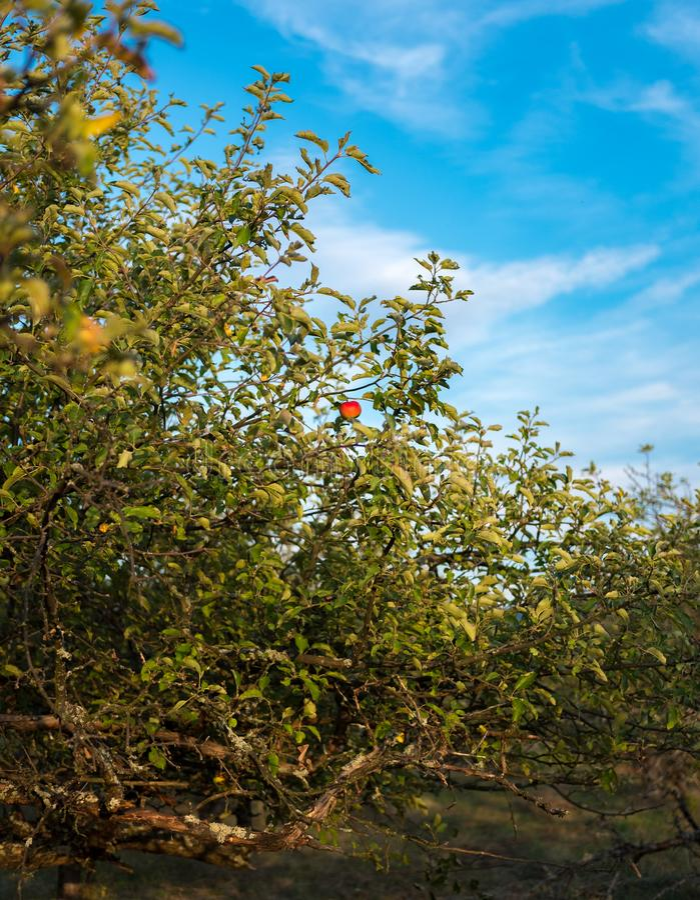 A fruta proibida imagens de stock royalty free