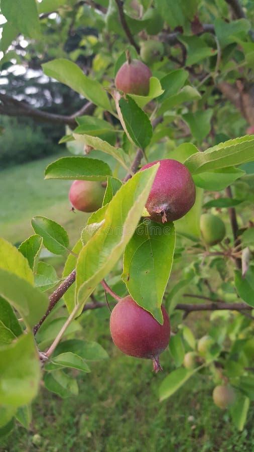 Fruta prometedora fotos de archivo