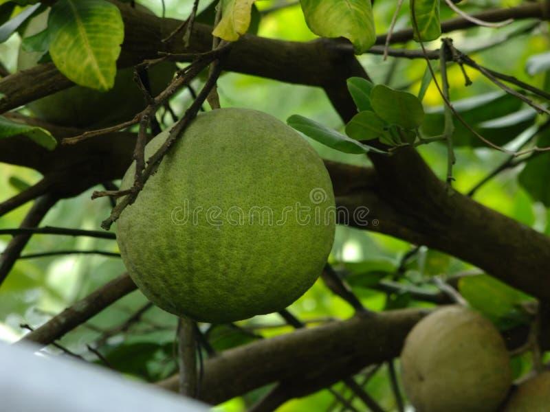 Fruta sana del pomelo fotografía de archivo libre de regalías