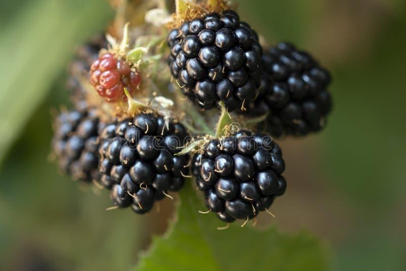 Fruta suave madura de Blackberry en fondo verde fotografía de archivo libre de regalías