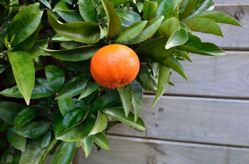 Fruta subtropical fotografia de stock