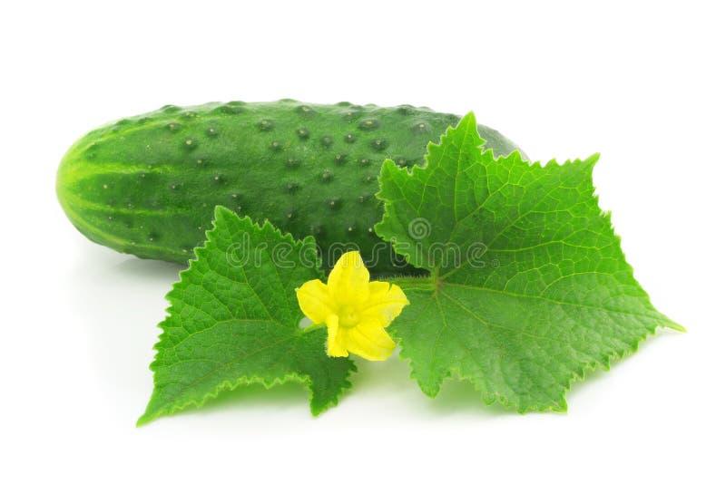 Fruta vegetal del pepino verde con las hojas aisladas foto de archivo libre de regalías