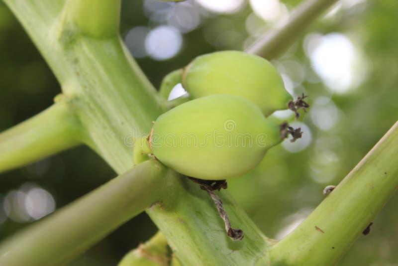 Fruta verde de la papaya fotos de archivo