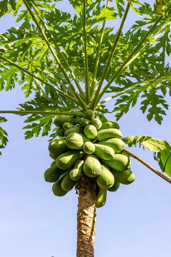 Fruta verde de la papaya fotografía de archivo